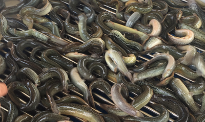 江苏省连云港市赣榆区台湾泥鳅 35尾/公斤 3-5cm 人工养殖