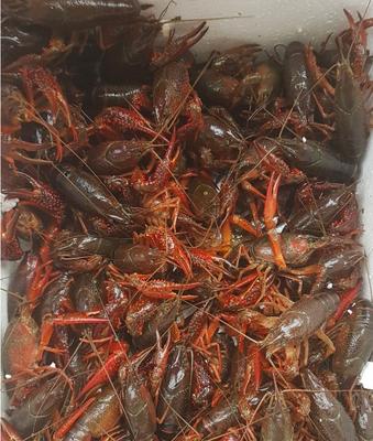 江苏省淮安市盱眙县清水小龙虾 人工殖养 4-6钱