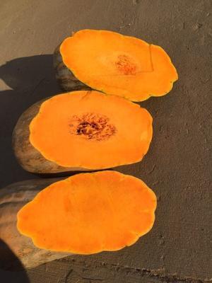 内蒙古自治区鄂尔多斯市鄂托克前旗金韩蜜本南瓜 10~15斤 长条形
