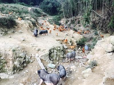 广东省河源市紫金县黑土猪 100斤以上