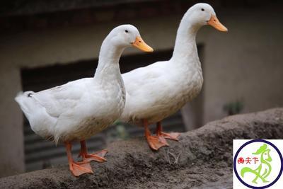 这是一张关于白鸭苗的产品图片