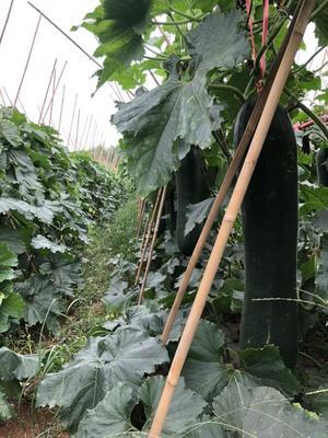 广西壮族自治区北海市合浦县青皮冬瓜 40斤以上 白霜