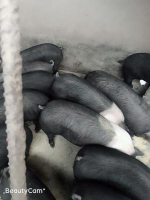 安徽省亳州市蒙城县汉普夏猪 200-300斤