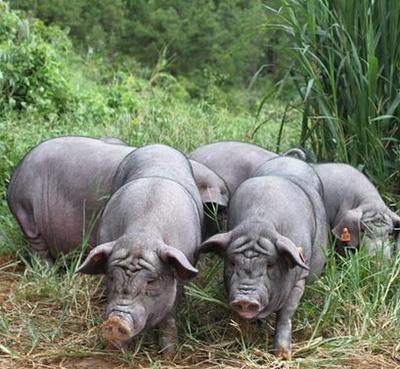 广西壮族自治区北海市合浦县黑猪 200-300斤