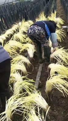 这是一张关于黄韭芽 头茬 50~60cm的产品图片