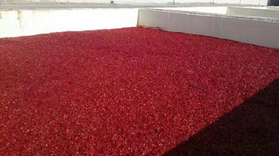 甘肃省武威市凉州区美国红辣椒 2~5cm 红色 微辣