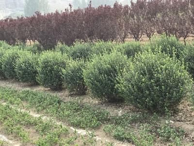 山东省莱芜市莱城区日本红叶樱花 14~16公分 2~3米
