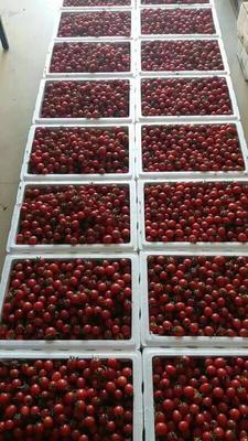 广西壮族自治区百色市田阳县粉果番茄 打冷 大红 弧一以下