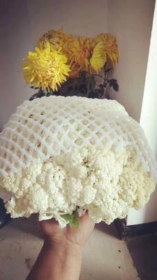 陕西省西安市阎良区白面青梗松花菜 松散 4~5斤 乳白色