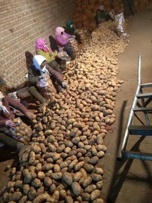 这是一张关于荷兰15号土豆 统货的产品图片