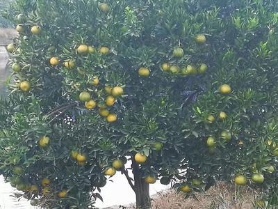 这是一张关于长泰芦柑 3 - 3.5cm 1.5 - 2两的产品图片