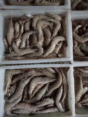 广西壮族自治区北海市海城区南美白对虾 人工殖养 9钱以上