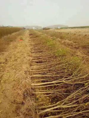 云南省昆明市西山区软籽石榴苗