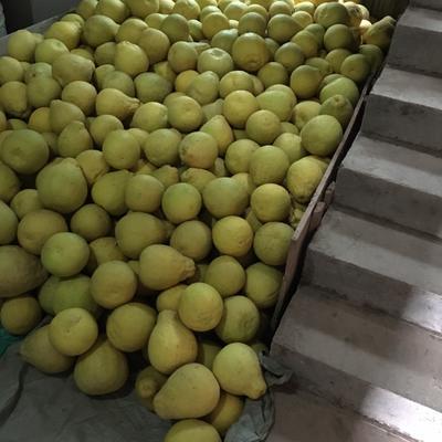 这是一张关于沙田柚 1斤以上的产品图片
