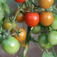 这是一张关于水果西红柿 不打冷 大红 弧一以下的产品图片