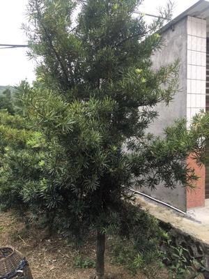 福建省福州市晋安区中叶罗汉松