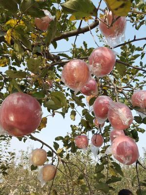 陕西省咸阳市武功县红富士苹果 纸+膜袋 条红 70mm以上