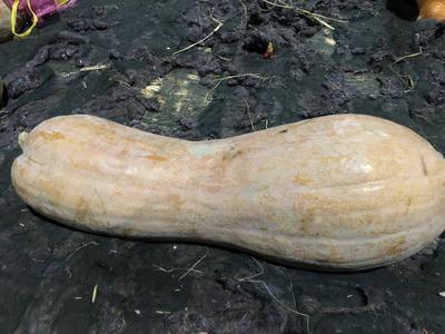 新疆维吾尔自治区乌鲁木齐市沙依巴克区黄狼南瓜 6~10斤 长条形