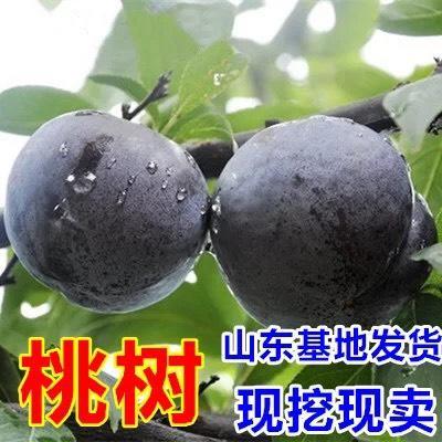 山东省临沂市平邑县黑桃苗 0.5~1米