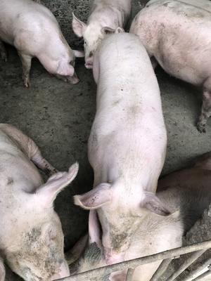 湖北省宜昌市枝江市土杂猪 200-300斤