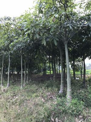 广东省潮州市饶平县大叶发财树