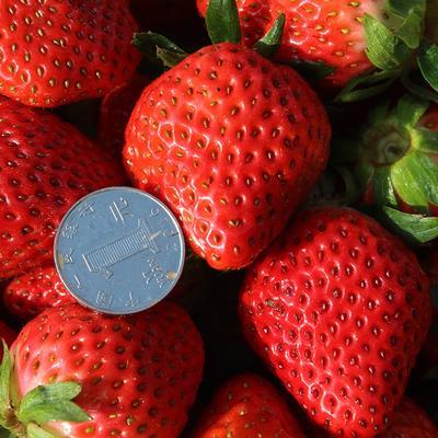 四川省成都市武侯区美国甜查理草莓 20克以上