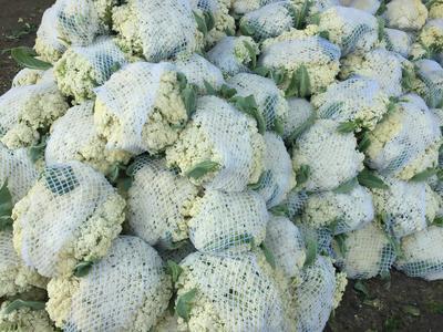 河北省邯郸市曲周县有机花菜 松散 1~2斤 乳白色