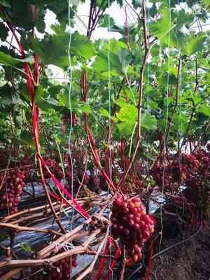 内蒙古自治区乌兰察布市集宁区克伦生葡萄 5%以下 1次果 2斤以上
