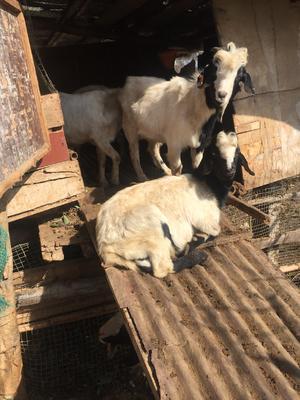 这是一张关于波尔山羊 50-80斤的产品图片