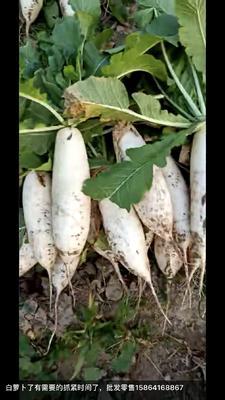 山东省德州市夏津县白萝卜 2~2.5斤
