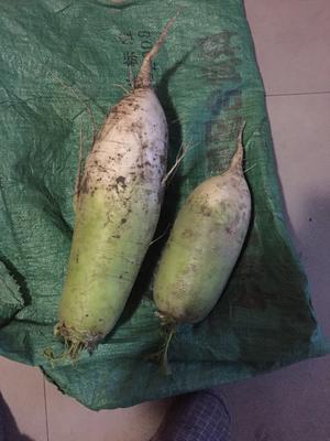 河北省邯郸市复兴区青皮萝卜 1.5~2斤