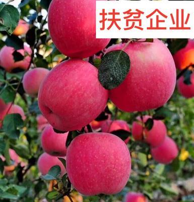 烟富10苹果苗 红富士苹果苗包邮包纯