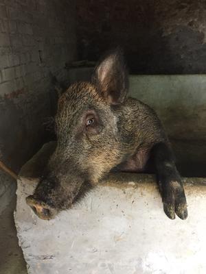 浙江省台州市温岭市改良野猪 60斤以上 统货