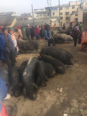 四川省凉山彝族自治州会理县黑猪 160斤以上