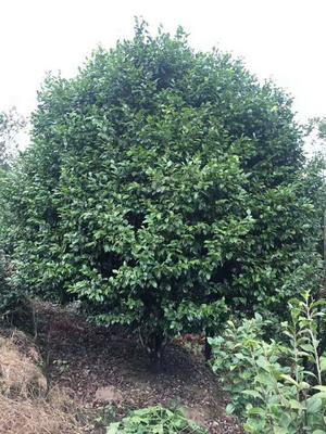 四川省宜宾市高县茶花树 140cm以上