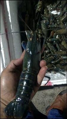 广东省惠州市博罗县澳洲淡水小龙虾苗