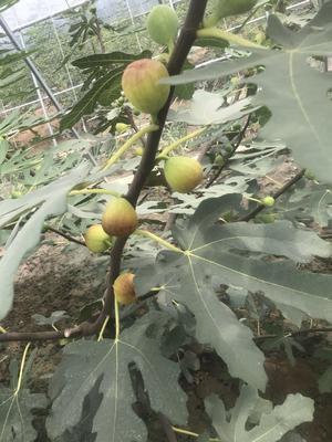 这是一张关于红灯樱桃苗的产品图片