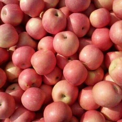 浙江省宁波市余姚市红富士苹果 光果 片红 70mm以上