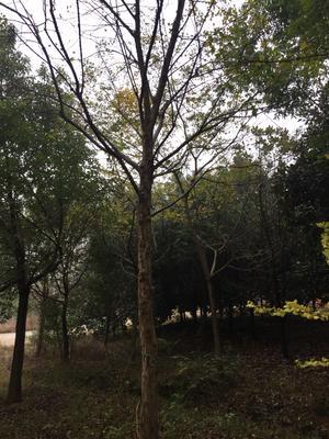 安徽省宣城市宣州区重红三角梅 3~4米