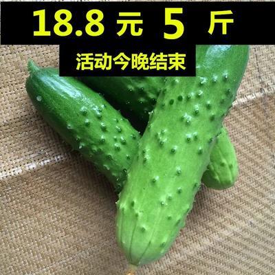 山东省烟台市海阳市水果黄瓜 18~22cm 干花带刺