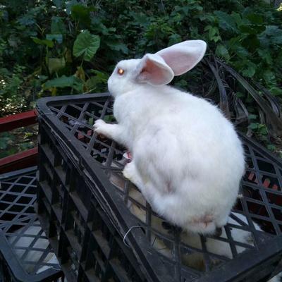 海南省琼海市琼海市兔肉类 新鲜