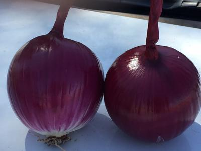 甘肃省金昌市金川区紫皮洋葱 8cm以上 紫皮 4两以上