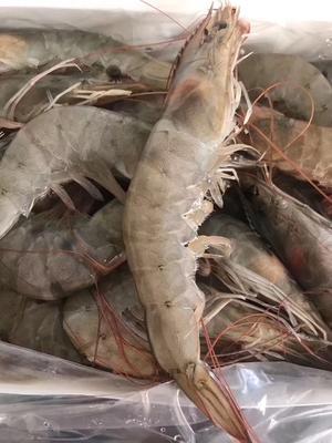 山东省济南市历城区中国对虾 野生 2-4钱