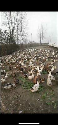 河南省驻马店市西平县花边鸭 统货 全散养 5-6斤