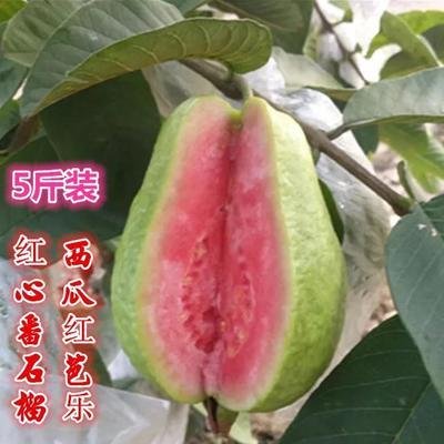 广西壮族自治区玉林市容县红心芭乐 250-300克