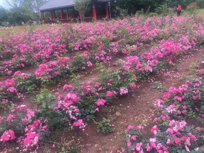 云南省昆明市五华区食用玫瑰