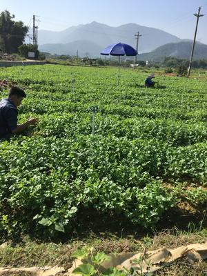 广东省惠州市惠城区大叶香菜 25~30cm