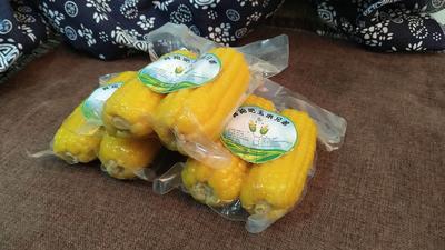 内蒙古自治区巴彦淖尔市五原县临单211玉米 甜糯 去壳