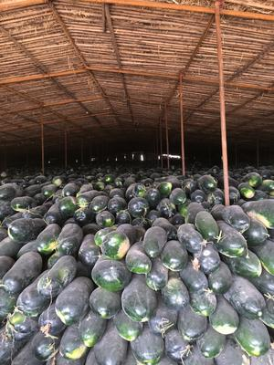 新疆维吾尔自治区乌鲁木齐市头屯河区黑皮冬瓜 20~30斤 地冬瓜