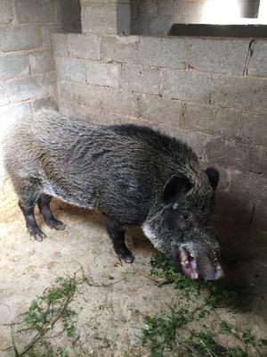 云南省曲靖市麒麟区生态野猪 80斤以上 统货